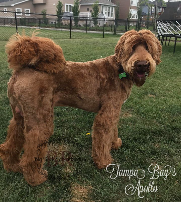 Apollo groomed side 9 months