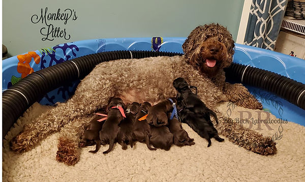 Big Rock Labradoodles | Diamond and her Band of Monkeys Day 4 | Our Puppies
