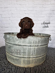 Big Rock Labradoodles | Marigold 5 Weeks | Our Puppies | Australian Labradoodle