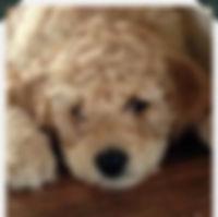 Big Rock Labradoodles | Testimonials | Jenna Cave | Alberta Labradoodle Breeder