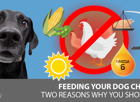 Raw Chicken For Dogs: Why I Stopped Feeding It
