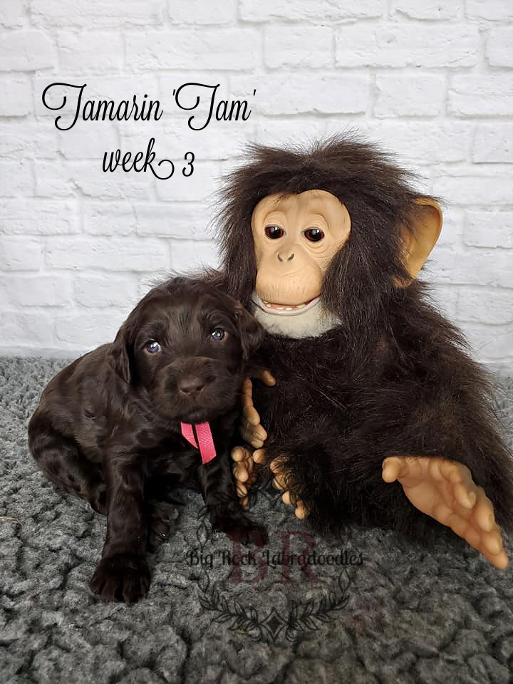 Tamarin week 3
