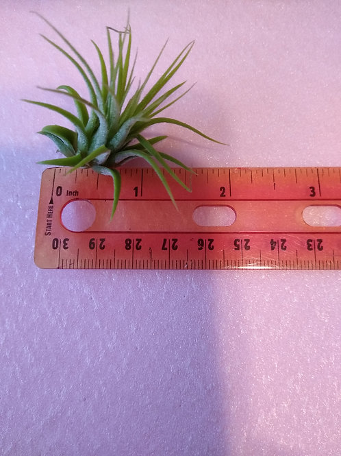Tilliandsia  small size misc. airplant 2-3""