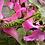 Thumbnail: Omomantis zebrata