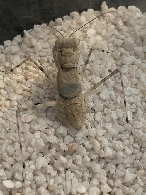 Eremiaphila nymphs