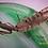 Thumbnail: Polyspilota Griffinii sold out