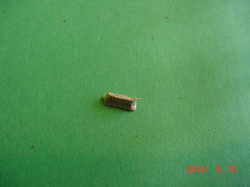 Bolbena hotentatta ootheca, dried