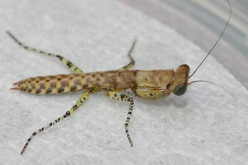 Panther Mantis (Tarachodula Pantherina)