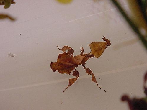 Phyllocrania Paradoxa Females