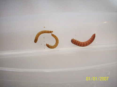 50 Mealworms medium order