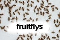 Melnogaster fruit flies, wingless