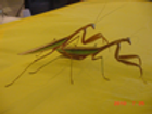 Tenodera angustipennis adult males sold out
