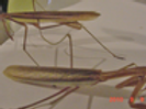 U.S. MANTIS NYMPHS,Sub/Adults