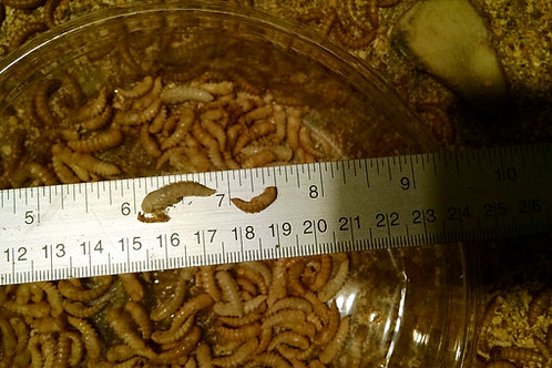 5 Mealworms pupa small order
