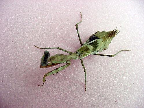 Parashendale Agrionina  adult females