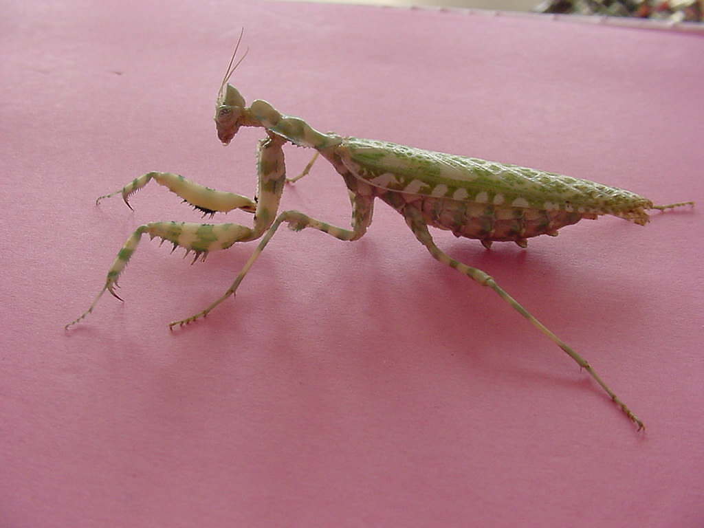 Mantisplace praying mantis pets supplies blepharopis origin egypt ethiopia common name devils flower mantis thistle mantis dhlflorist Image collections