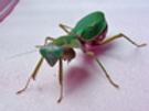 Rhombodera basalis adult female DEAD