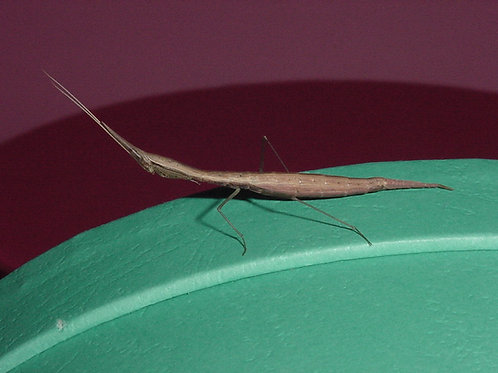 Didymocorypha, Lanceolata