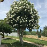 Orleander boom