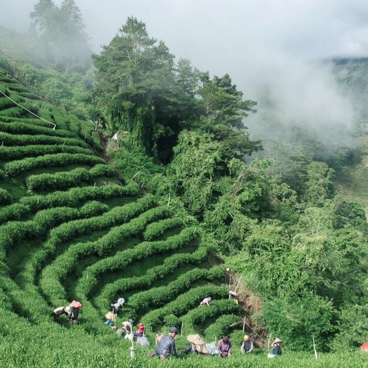 Lishan plantación