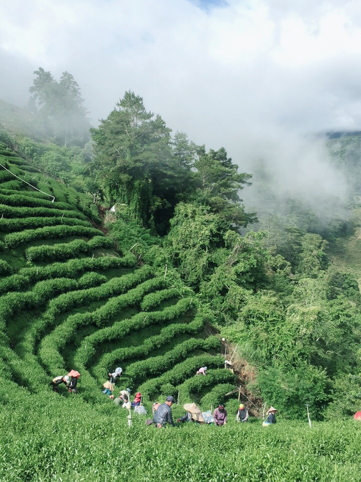 Lishan Tea G
