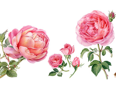 Registration Open for All! Painting Roses in Depth With Jenny Phillips, November 13, 2021