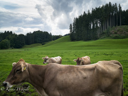 Cows (Allgäu, South Bavaria, Germany)