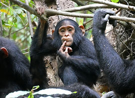 Chimpanzee in Budongo Forest Reserve