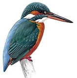 Kingfisher Logo - Right Facing.jpg