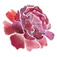 peony .5inch 300.png
