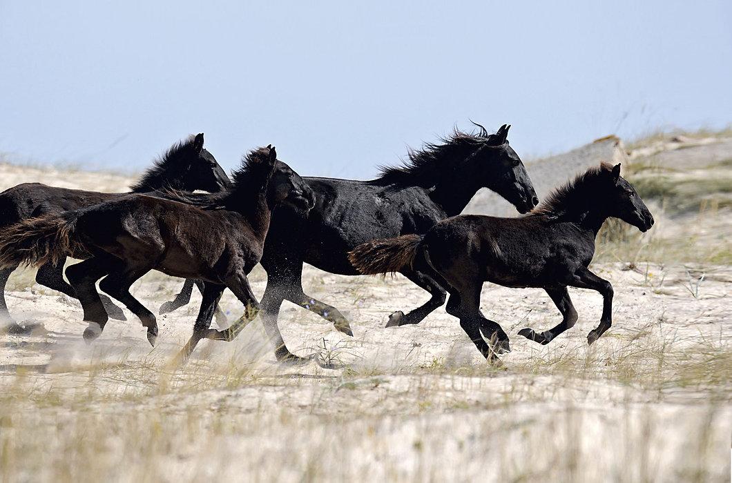 Caresse paarden