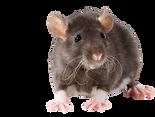 Rata y ratones