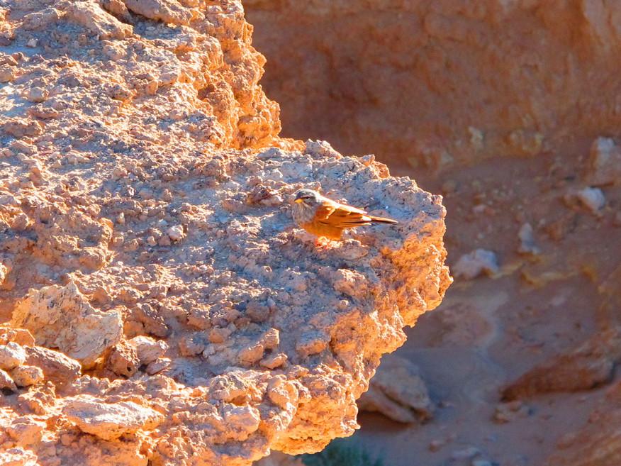 Oiseau du désert