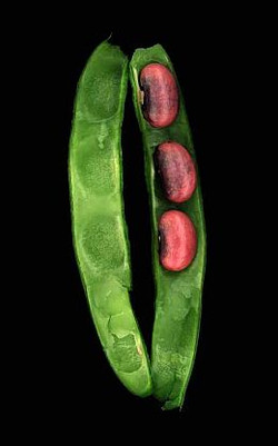 Beans in a Pod, 2004