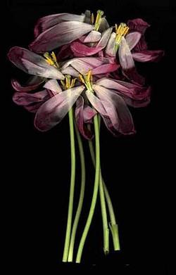 Tulipea