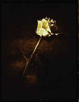 Rose 1/25, 2003