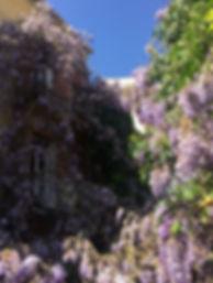 La glycine centenaire du ptio de l'hôtel L'Atmosphère à Sanary sur mer