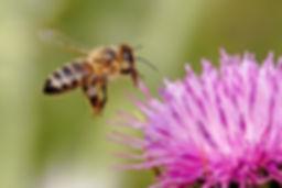 honey bee wide hd new wallpaper.jpg