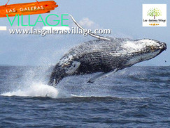 Balene - Megattere