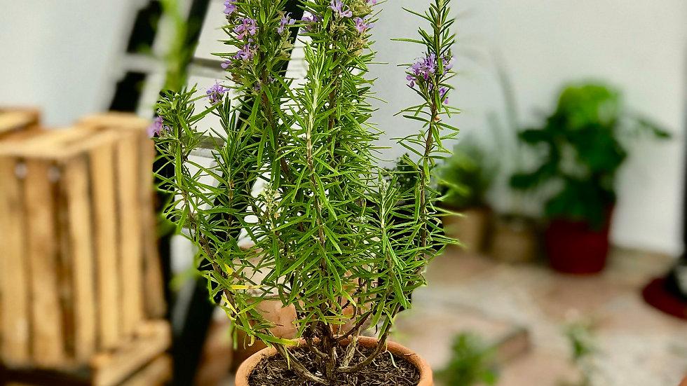 Plantas medicinales aromáticas I