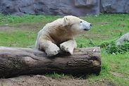 polar-bear-2731259_1920.jpg