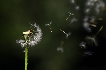 blossom-blur-close-up-dandelion-289323.j