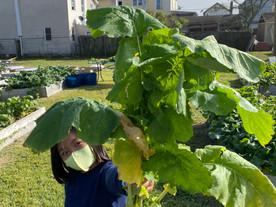 Harvest Day in Our Community Garden!