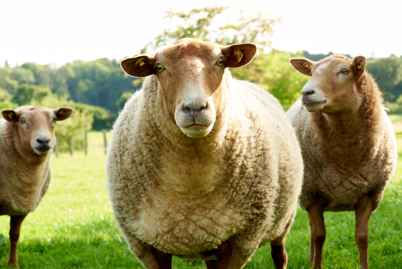 Schafe, Lämmer