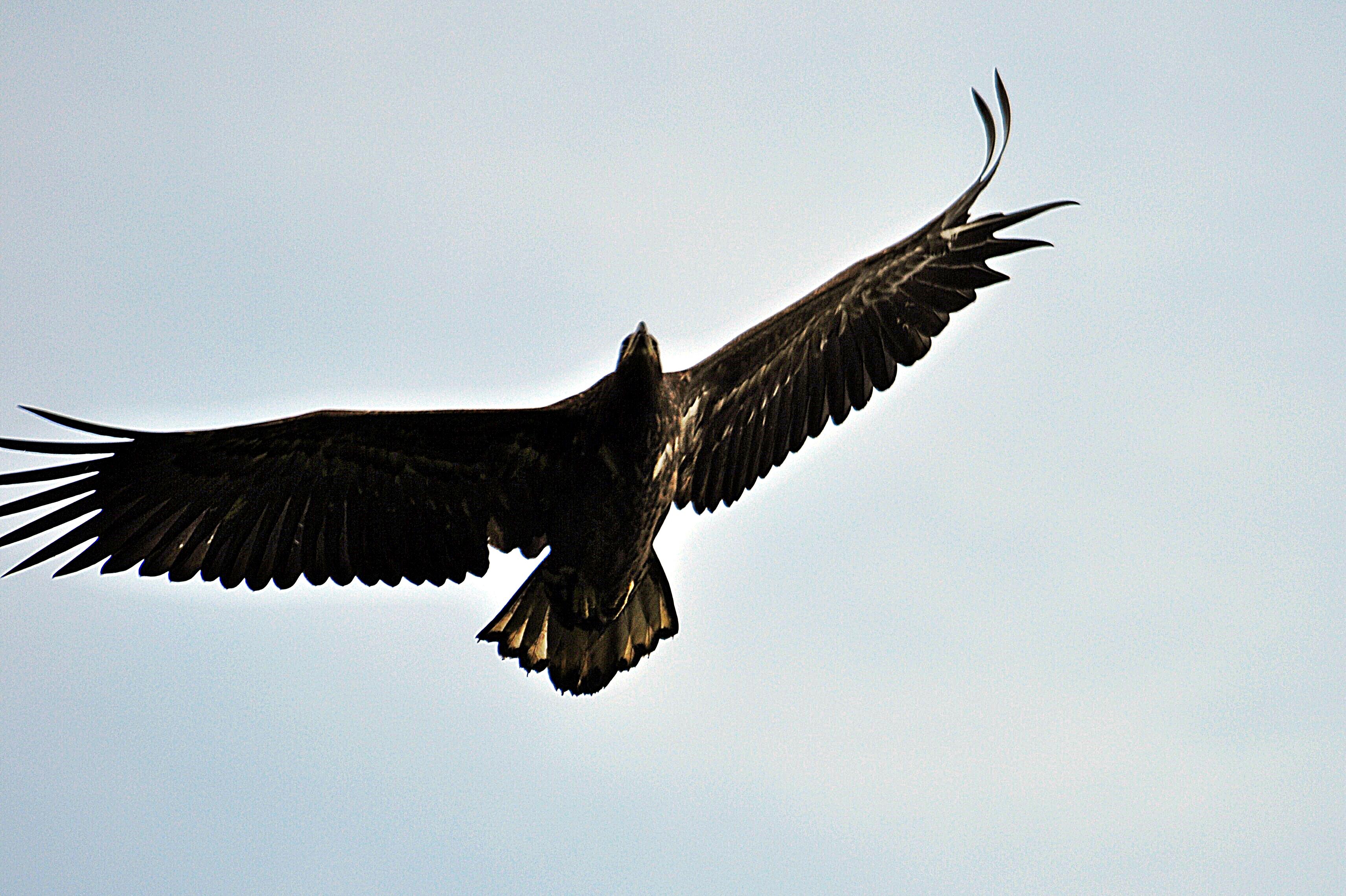 Adler in den Hüttener Bergen