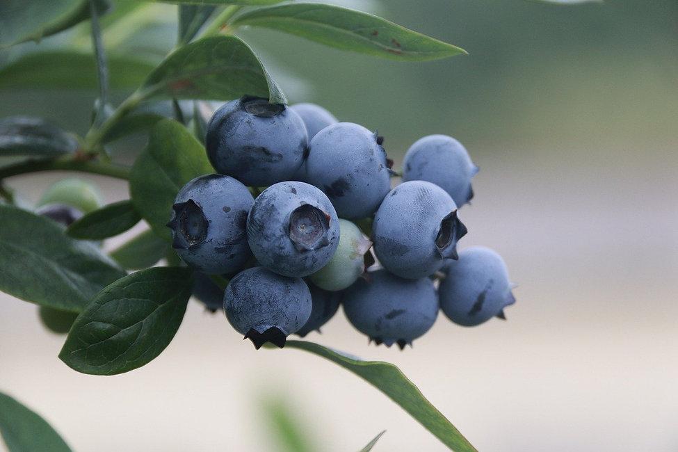 blue-berries-4352159_1280.jpg
