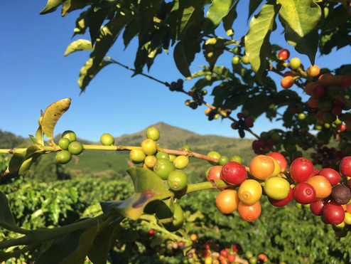 Coffee Cherry with hills 1