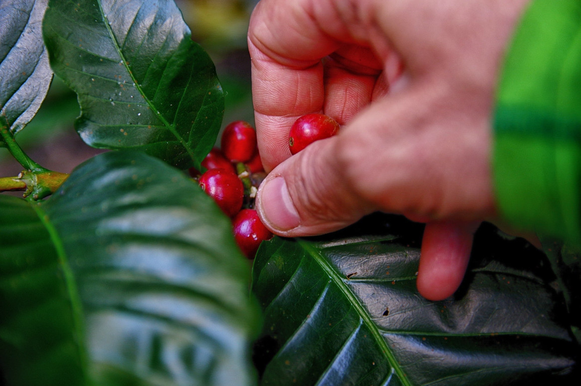 A person picking coffee beans 1