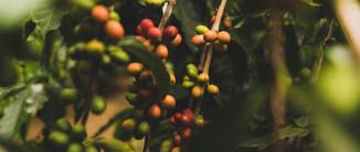 Coffee cherry 1