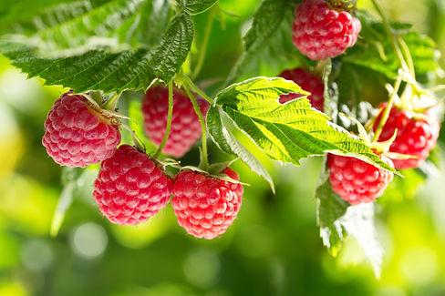 branch of ripe raspberries in a garden.j